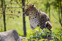 Closeup leopard in the vegetation Stock Image
