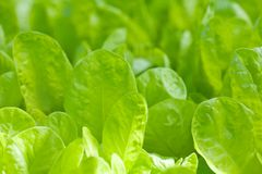 Closeup of lettuce bed Stock Photos