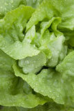 Closeup of lettuce in garden Royalty Free Stock Photos