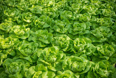 Closeup of lettuces Stock Photography