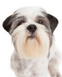 Closeup of Lhasa Apso Dog Standing Stock Photography