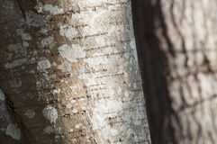 Closeup of lichen on a alder Royalty Free Stock Photo