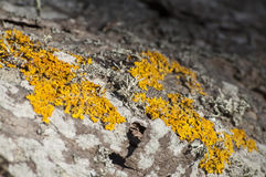 Closeup of lichen on a alder Royalty Free Stock Image