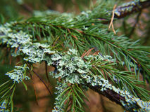 Closeup of lichen on spruce tree Stock Photo