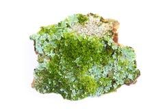 Lichen. Closeup lichen on white background stock images