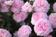 Close up of pale pink roses. Closeup of light pink english roses growing in a cottage garden Royalty Free Stock Image