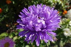 Closeup of light violet flowerhead of china aster. Close up of light violet flowerhead of china aster Stock Photography