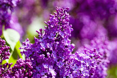 Closeup of Lilac Flower at Blossom Royalty Free Stock Photos