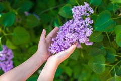 Closeup lilac flower in the hands of a little girl. Closeup of lilac in the hands of a little girl stock photography