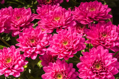 Closeup of lilac flowering Chrysanthemums in a flower nursery Royalty Free Stock Image