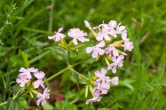 Closeup of a lilac flowering Cuckoo Flower Stock Images