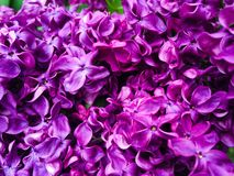 Closeup of Lilac Flowers Royalty Free Stock Image