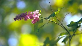 Closeup of lilac tree and sun. Close up of lilac tree blossoms and sun is visible through them stock footage