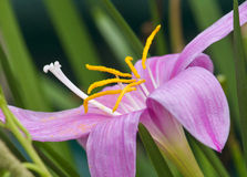 Closeup of lily flower. Anthers and pollen of lily flower Stock Images
