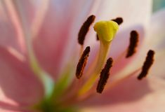 Closeup of lily flower Stock Image