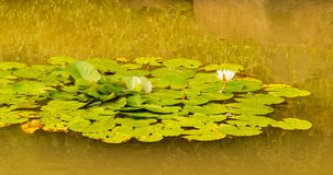Closeup of lily pad with white lotus flower Royalty Free Stock Images