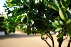 Closeup lime tree Royalty Free Stock Image