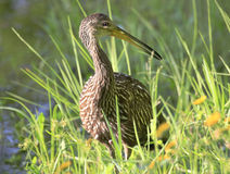 Closeup of a Limpkin Hunting for Apple Snails Royalty Free Stock Images