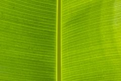 Closeup line texture banana leaves background. Banana leaf a variety of uses. I Royalty Free Stock Image