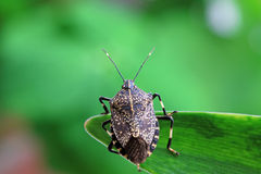 Linen skin stinkbug Stock Photos