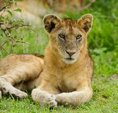 Closeup of a  Lion cub in the rain. Closeup of a Lion cub in the rain  Panthera leo, or `Simba` in Swaheli in the Serengeti National park, Tanzania Stock Photography