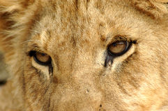 Closeup Lion eyes. A closeup of beautiful lion eyes with dangerous expression watching African wildlife in a game reserve in South Africa Stock Image