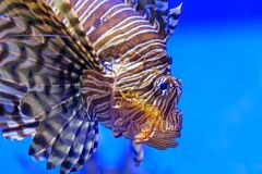 Closeup Lion fish swimming under water. Pterois volitans Stock Photo