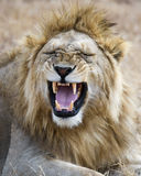 Closeup of a lion head in the Ngorongoro Crater Royalty Free Stock Images