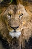 Closeup of a Lion vertical Royalty Free Stock Images