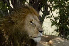 Closeup of a lion in Kenya Stock Photography