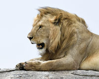 Closeup of a lion lying on grey rock looking forward with mouth open Stock Images