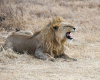 Closeup of a lion lying on the ground head in the Ngorongoro Crater Stock Images