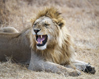 Closeup of a lion lying on the ground in the Ngorongoro Crater. A closeup 3/4 view of a lion with eyes closed and mouth fiercely open in the Ngorongoro Crater Stock Photo