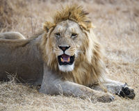 Closeup of a lion lying on the ground in the Ngorongoro Crater. A closeup 3/4 view of a lion with eyes open and mouth fiercely open in the Ngorongoro Crater Royalty Free Stock Photos