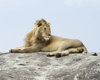 Closeup of a lion lying on top of a grey rock Royalty Free Stock Image