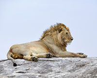 Closeup of a lion lying on top of a grey rock Stock Photography