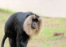Closeup of Lion - Tailed Macaque - Macaca silenus Stock Image