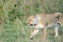 Closeup of a lion walking. The lion is one of the four big cats and belongs to genus Panthera Stock Images