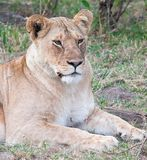 Closeup of lioness lying down but alert Royalty Free Stock Photo