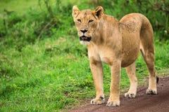 Closeup of lioness stock photos