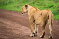 Closeup of lioness royalty free stock images