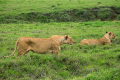 Closeup of lioness stock image