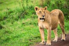 Closeup of lioness royalty free stock photos
