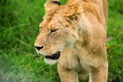 Closeup of lioness stock photography