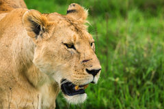 Closeup of lioness royalty free stock photography