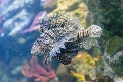 Closeup of a lionfish in aquarium environment Royalty Free Stock Photo