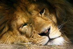 Closeup of a Lions Face Royalty Free Stock Photos