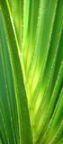 Closeup of Lit Palm Fron. Close up of two palm frons lit from the side royalty free stock photo