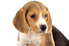 Closeup of a little beagle Royalty Free Stock Photo