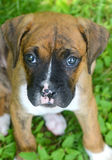 Closeup little Boxer puppy looking at the camera. Close up Boxer pup in green grass Royalty Free Stock Photography